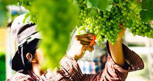 Enoturismo na vinícula Araucaria